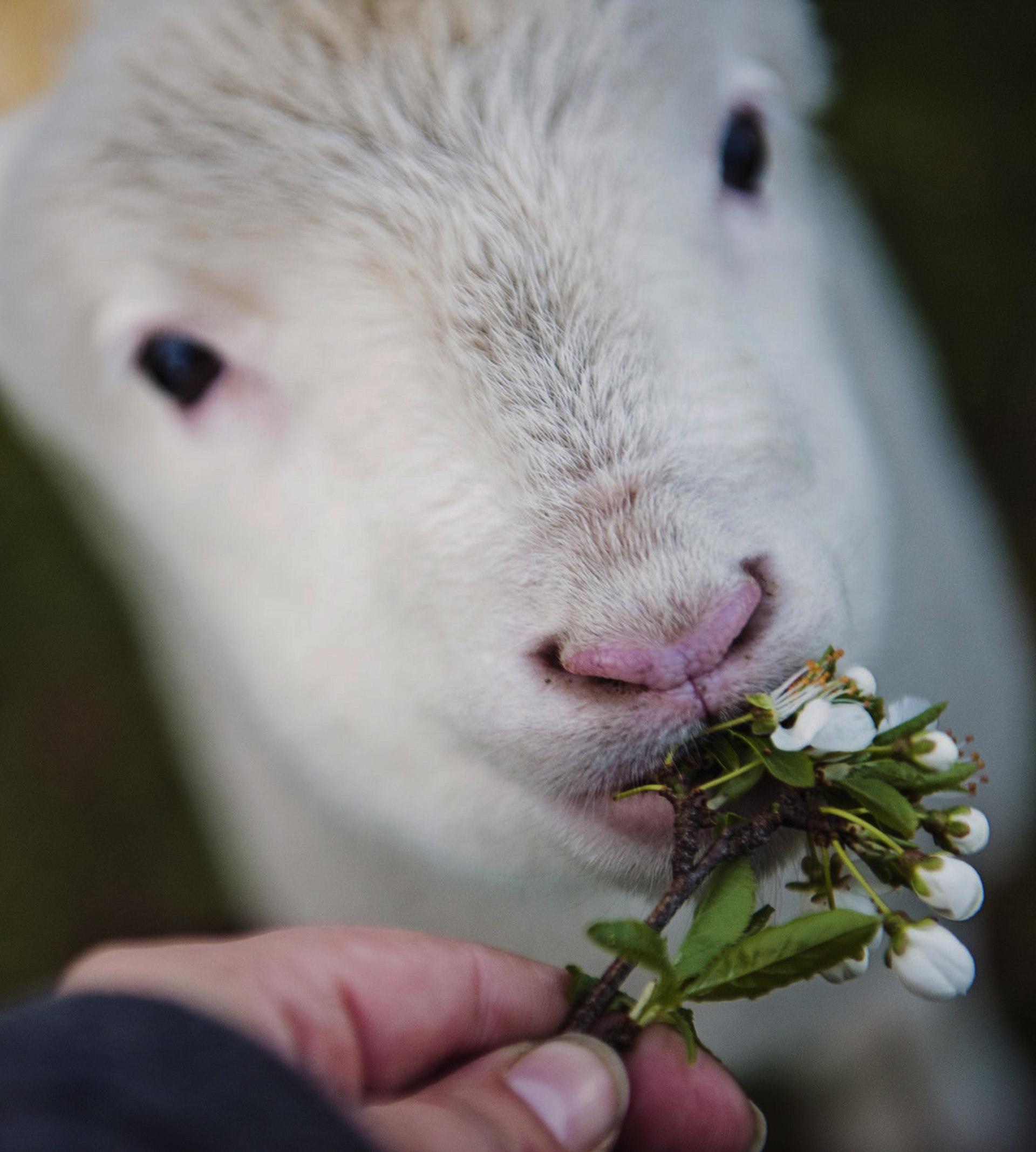 Lamm som blir matad med blommor
